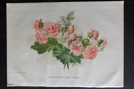 Amateur Gardening 1895 Botanical Print. Double Flowered Chinese Primula